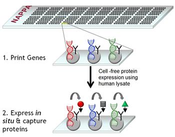 Nappa protein arrays